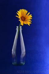 right where it belongs (BluAlien) Tags: nikon d800 flower stilllife blue yellow 2470mm28 studiolight studiostrobe monolight glass bottle