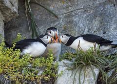 3-way puffin kiss (marianna_a.) Tags: puffins 3 birds canada quebec mariannaarmata