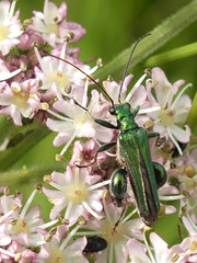 Thick legged flower beetle (Oedemera (Oedemera) nobilis) male (shadowshador) Tags: thick legged flower beetle oedemera nobilis neomura eukaryota opisthokonta holozoa filozoa animalia eumetazoa bilateria nephrozoa protostomia ecdysozoa panarthropoda panarthropod panarthropods tactopoda tactopod tactopods arthropoda arthropod arthropods hexapoda hexapod hexapods insecta insect insects pterygota neoptera endopterygota coleoptera polyphaga cucujiformia tenebrionoidea oedemeridae oedemerinae invertebrate invertebrates taxonomy scientific classification biology entomology coleopterology wildlife life british