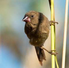 Crimson Finch at home_4447 (Jen Crowley Photography) Tags: bird finch crimson crimsonfinch berrysprings nt northernterritory nikon