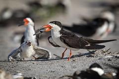 Learning patience...{Explored} (DTT67) Tags: blackskimmer skimmer birds chicks beach nesting feeding nature wildlife canon 1dxmkii canon500mmii