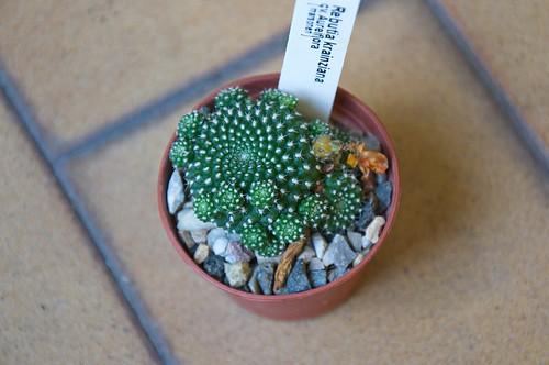 Rebutia krainziana cv aureiflora