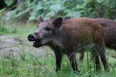 Dinner Time (Taracy) Tags: wild boar forest dean england