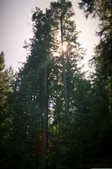 Capilano Suspension Bridge 3: Tall Cedars (pmvarsa) Tags: tall cedar trees vancouver bc britishcolumbia capilano suspension bridge park 1998 summer film kodak gold kodakgold200 135 35mm analog nature sky green outside canon ftb fd cans2s classic camera nikonsupercoolscan9000ed nikon coolscan