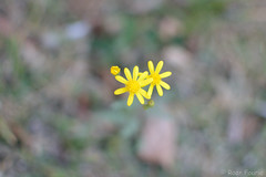 Lost - little yellow flower (roanfourie) Tags: yellow flowers flower plant nikon d3100 nikkor 35mm bokeh flora floral