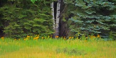 THE ASPEN DIVIDE (Irene2727) Tags: trees aspens aspentrees firtrees grass flowers yellowflowers nature flora landscape scape panorama pano colorado