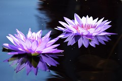Double vision (marensr) Tags: chicago botanic garden waterlily water lily reflection flower bloom purple blue