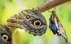 Hangers On (Wes Iversen) Tags: bluemorpho hss macros michigan morphopeleides royaloak sliderssunday butterflies digitalart insects nature painterly sunrays5