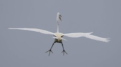 2U7A3453 (rpealit) Tags: scenery widllife nature ocean city rookery great egret bird