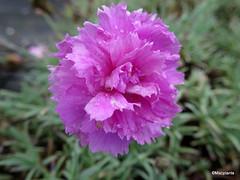 Dianthus 'Whatfield Cancan'