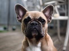 Theordore, the Frenchie. (Will.Mak) Tags: willmak theordore frenchie frenchbullog french bulldog dog animal portrait olympus em1 olympusm1240mmf28 1240mm f28 1240mmf28 bokehlicious