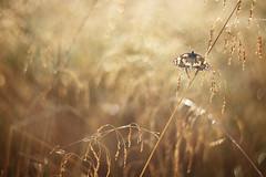 IMG_2101 (izagajewska) Tags: świtak komorów 2017 łąka motyle rowerem 340 mgła wschod wschodslonca zalew w komorowie zalewwkomorowie switaczekkomorowski niemaspania