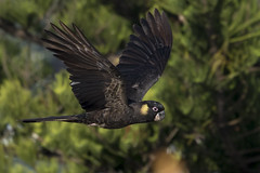 Yellow Tail Black Cockatoo (chrisprohm) Tags: ytbcockatoo yellowtailblackcockatoo cockatoo cockatooinflight