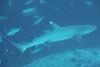 White Tip Shark in Moofushi corner. Squalo Pinna bianca, Pass Moofushi (Faana Miyaru). (omar.flumignan) Tags: faanamiyaru whitetipshark squalopinnabianca squalo shark moofushicorner pass moofushi atoll atollo arinorth arinord maldive maldives holiday vacanza canon g7xmk2 fantasea fg7xmk2 ikelite ds51 ngc allnaturesparadise flickrtravelaward