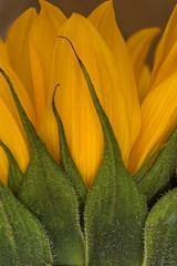 Happy Sunny Macro Monday! (suzanne~) Tags: flower sunflower macro floral memberschoicetexture macromondays