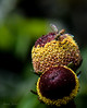 Self Medicating (JadedJennii) Tags: toothache plant flower bee macro tiny diopter garden