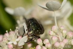 DN9A6552 (Josette Veltman) Tags: vlinders insects insecten butterfly macro nature natuur landgoed dehorte dalfsen landschapoverijssel