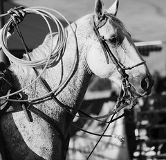 fullsizeoutput_a4e (kmbiando148) Tags: rodeo horses montana toughenough bulls riding summernight 8seconds west cowboys hats chaps spurs wranglers boots