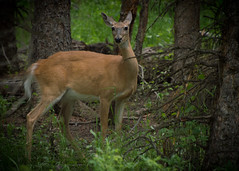 White-tailed doe (dobieomatic) Tags: whitetailed deer yellowstone national park d3200 beaver pond trail doe
