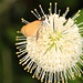 Least Skipper - Ancyloxypha numitor, Leesylvania State Park, Woodbridge, Virginia
