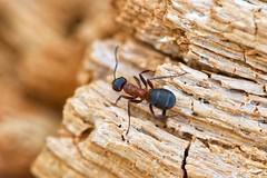 Texture (Milagros Sahlén) Tags: tree tronco árbol madera temalibre freetheme 7dwf ant hormiga outdoor wood macromonday texture