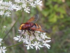 Stadsreus / hoornaarzweefvlieg (Volucella zonaria) (Frank Berbers) Tags: macro nikoncoolpixs9500 insect stadsreus zweefvlieg hoornaarzweefvlieg diptera syrphidae mimicry mimikry mimétisme mimetismo hornissenschwebfliege grosewaldschwebfliege riesenhummelschwebfliege hornetmimichoverfly hoverfly volucellezonée zuidlimburg nederland limburg hoensbroek