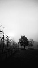 Fog (snorky_x) Tags: fog garden rieti tree