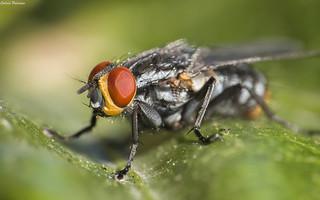 Sarcophagidae sp.