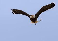 D97A0771 (yapaphotos) Tags: puy du fou pygargue à tête blanche haliaeetus leucocephalus bald eagle