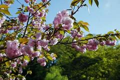Narita Cherry Blossoms (Nelo Hotsuma) Tags: narita naritasan temple park shinshoji buddhist shingon chiba japan trees pond garden 日本 成田山 新勝寺 sakura cherry blossom flowers