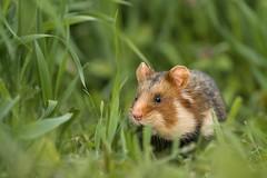 Hamster (bobby3101985) Tags: weizenfeld weizen vomaussterbenbedroht natürlicheungebung acker feld sachsenanhalt saxonyanhalt germany feldhamster roteliste nager nagetier fieldhamster hamster