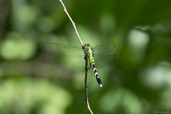 Dragonfly 2017-4 (michaelramsdell1967) Tags: forest beauty nature macro outside animals bokeh closeup animal green insect vivid insects woods stick dragonfly wild detail focus vibrant bug meadow bugs wilderness damselfly damsel fly dragonflies upclose darter mayfly