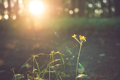 Flareicious (sue.konvalinkova) Tags: lensflare sigma flower forest sunset onawalk everydaybeauty gorgeousflare nikon macro eveningsun goldenhour bokeh depthoffield
