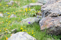 "Alpine ""campanula"" (yhrtsai) Tags: campanula alps courmayeur"
