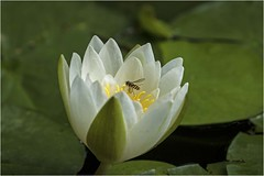 Water Lily with Guest (cconnor124) Tags: waterlilies lily flowers white naturephotography nature canon100400lens canon7dmk11