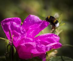 Hard working bumblebee (Sturla Sæthre) Tags: flower canon summer macro 100mm nature tokina bumblebee insect flight 6d eos