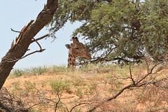 Girafe (safrounet) Tags: southafrica afriquedusud kgalagadi sable sand aride semiaride insecte mante religieuse mantereligieuse girafe giraffe