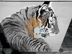 Tiger Torre del Mar 18 July 2017 (ecology_garden) Tags: