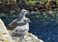 Gull chicks. (carolinejohnston2) Tags: nature seaside cliff ledge chicks juvenile birds seagulls donegal ireland wildlife