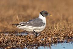 Sabine's Gull (Eric Gofreed) Tags: alaska barrow gull sabiniesgull