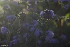 El final del día (pedroramfra91) Tags: naturaleza nature bokeh flores flowers primavera spring