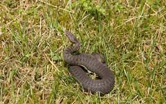 Viper (Yvonne L Sweden) Tags: snake sweden huggorm viper torpet2017 summer orm adder