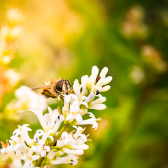 Look at me!  Bee in nature (Zeeyolq Photography) Tags: abeilles bee macro nature pollen collevillemontgomery normandie france fr