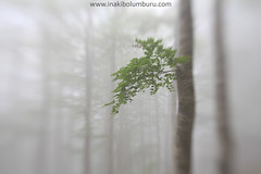BASOAN JOLASTEN (Obikani) Tags: basoa bosque forest rama tree surreal mist fogg composition lensbaby aralar nafarroa landscape nature amazing serene focus