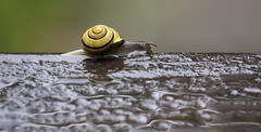 The Rain Race (AnyMotion) Tags: grovesnail hainbänderschnecke cepaeanemoralis snail mollusc animal animals rain regen wet nass tiere nature wildlife 2017 anymotion frankfurt 7d canoneos7dmarkii garden garten colours colors farben yellow gelb brown braun macro makro makroaufnahmen hink will lost race ngc npc