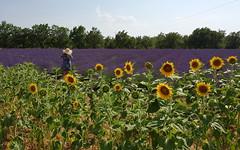 La Provenza ... (Augusta Onida) Tags: girasole sunflower provenza provence campo field francia france valensole cappello hat donna woman lavanda lavender routedelalavande stradadellalavanda