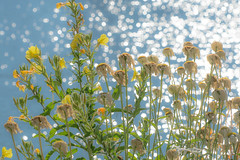 Beauty at the River. (Omygodtom) Tags: abstract sunlight flickr flower nikkor nature nikon plant daisy river sparkle d7100 digital dof nikon70300mmvrlens park yellow green