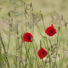 Partie de campagne *---- ° (Titole) Tags: poppies grass grasses squareformat titole nicolefaton three diamondaward