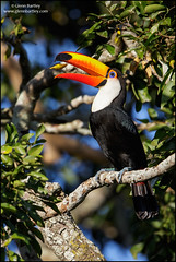 Toco Toucan (Ramphastos toco) (Glenn Bartley - www.glennbartley.com) Tags: animal animalia animals atlanticrainforest aves avian bird birdwatching birds brazil glennbartley nature neotropical pantanal rainforest southamerica tocotoucanramphastostoco wildlife