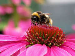 I'll bee on top of the world ... :-) (☜✿☞ Bo ☜✿☞) Tags: bee insect garden outdoor backyard bug yard nature floral canong16 powershot macro bokeh closeup colourful pink red maroon black yellow green grey white colour eye wing leg england britain uk europe european one july summer2017 echinacea flower plant